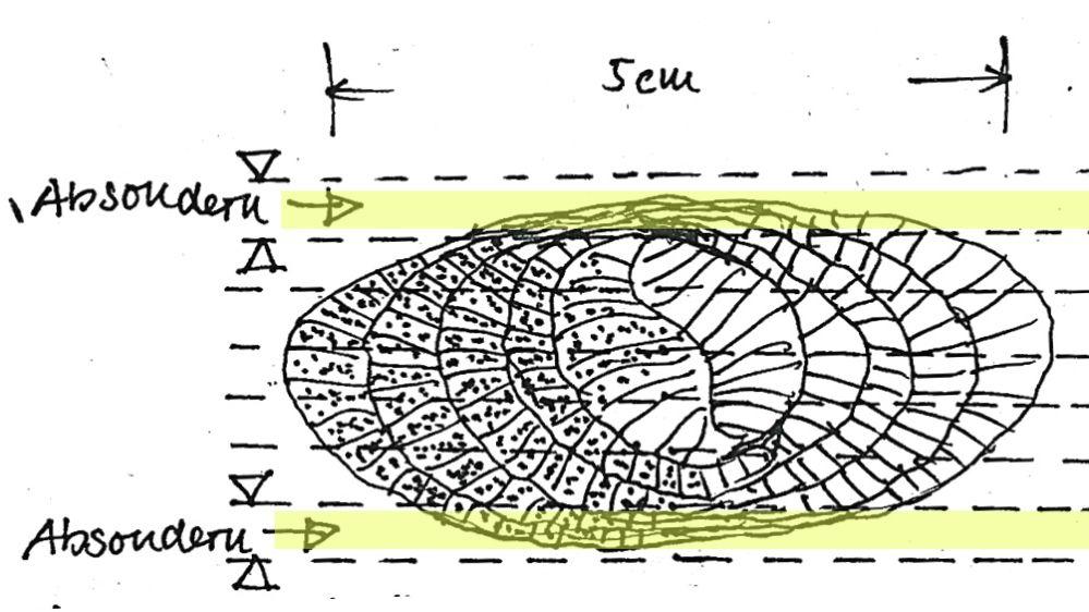 Prinzip der Abtrennung aerenchymarmer Seitenbereiche der Typha-Blaätter.